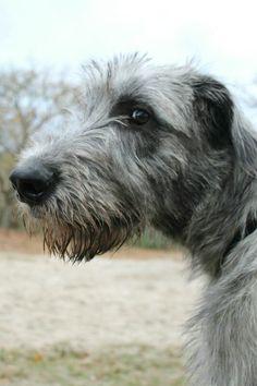 Irish Wolfhound Puppies, Irish Wolfhounds, Losing A Dog, Gentle Giant, Hound Dog, Big Love, Beagles, Whippet, Mans Best Friend