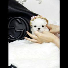 Teacup Maltese Daisy :http://www.poshpocketpups.com/puppy-breed/teacup-maltese-daisy-2/