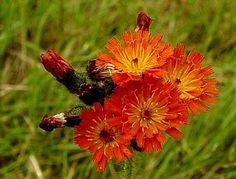 Orange Hawkweed wildflower seeds available from wild flowers devon British Wild Flowers, Garden Inspiration, Garden Ideas, Wild Strawberries, Queen Annes Lace, Wildflower Seeds, Black Eyed Susan, Orange Flowers, Cubs