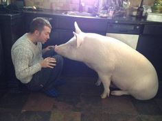 This family adopted a pig and shows how intelligent pigs are! This one was probably saved from a factory farm.