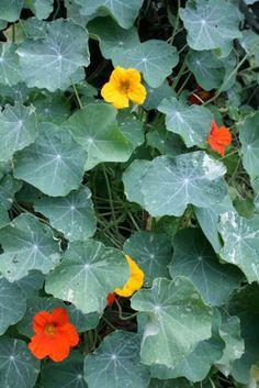 Pest deterring plants for the garden