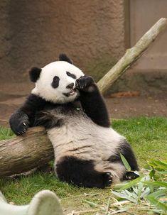 Lunch break panda. By Rita Petita