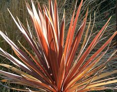Sunshine on Red Cordyline