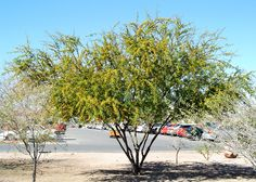 Fragrant Mimosa (Acacia farnesiana); Used for centuries in Europe for perfumes. Native to the Caribbean.