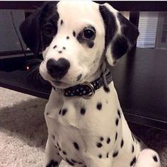 This gorgeous Dalmation has a heart on his nose! He reminds me of poor Jojo.: