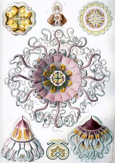 Illustrations of jellyfish by German biologist Ernst Haeckel (XIX century). I adore his work.