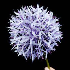 Paper Allium Tutorial | Design*Sponge