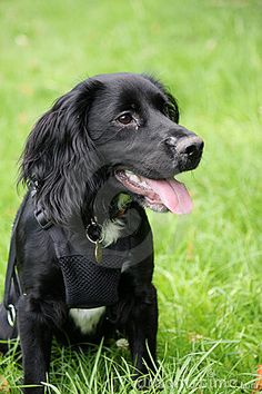Pretty cocker Field Spaniel puppy dog