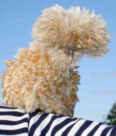 Frizzle Polish Chicken