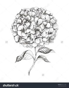 11 Cool Images of Hydrangea Vector Drawing. Hydrangea Line Drawing Hydrangea Flower Clip Art Hydrangea Flower Clip Art Vector Hydrangea Flower Blue Hydrangea Clip Art Illustration Mode, Botanical Illustration, Botanical Drawings, Botanical Art, Hydrangea Tattoo, Flower Line Drawings, Floral Drawing, Colouring Pages, Coloring