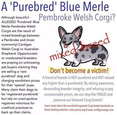 Unscrupulous breeders only interested in making money are cross breeding purebred Pembroke Welsh Corgis and Blue Merle Cardigan Welsh Corgis. Click on the image to learn more.