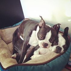 The only thing better than a Boston Terrier?  Two Boston Terriers.  Of course.