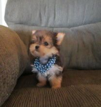 42 Best Yorkies Images Dogs Cute Baby Dogs Cute Puppies