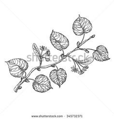 http://thumb7.shutterstock.com/display_pic_with_logo/1279627/345732371/stock-vector-the-branch-of-a-linden-tree-vector-hand-drawing-345732371.jpg