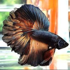 Some interesting betta fish facts. Betta fish are small fresh water fish that are part of the Osphronemidae family. Betta fish come in about 65 species too! Betta Aquarium, Freshwater Aquarium Fish, Fish Aquariums, Live Aquarium, Pretty Fish, Beautiful Fish, Animals Beautiful, Colorful Fish, Tropical Fish
