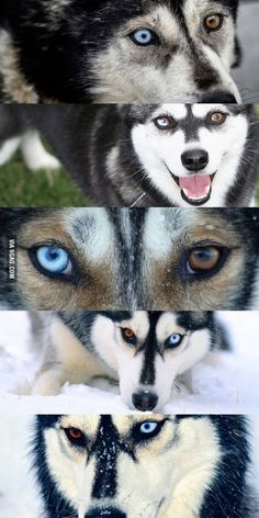 Funny pictures about Heterochromia Huskies. Oh, and cool pics about Heterochromia Huskies. Also, Heterochromia Huskies photos. Multi Colored Eyes, Different Colored Eyes, Siberian Husky Funny, Siberian Huskies, Cute Doge, Animals And Pets, Cute Animals, Puppy Husky, Dog Photography