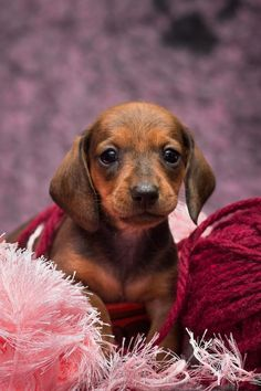 Dachshund Puppies, Cute Dogs And Puppies, Baby Dogs, Cutest Dogs, Really Cute Dogs, I Love Dogs, Dog Quotes Love, Miniature Dachshunds, Kawaii