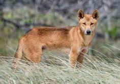 El Dingo Australiano Caracteristicas Habitat Alimentacion Estilo de Vida