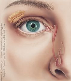 "Lacrimal system.  aka ""why does my nose always run when I cry??"""