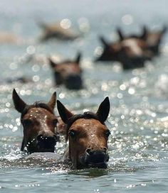 The Annual Pony Swim (Chincoteague, Virginia Assateague Island, Maryland).