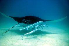 Schnorcheln mit Manta Rochen ist das Highlight im Ningaloo Reef bei Coral Bay. Absolut atemberaubend & überwältigend schön!