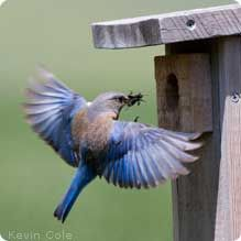 Bluebird -- How to set up a nesting box for your yard! #garden4wildlife
