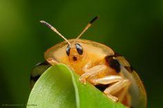 Tortoise Beetle   Flickr - Photo Sharing!