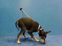 TO BE DESTROYED - 09/20/13 Brooklyn Center  My name is CHAMP. My Animal ID # is A0979137. I am a male black and tan chihuahua sh mix. The shelter thinks I am about 10 YEARS old.