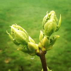 """Mme Lemoine ©Manu Kerola: """"Kevät ja luonnon herääminen on aina yhtä ihmeellistä ja upeaa katseltavaa. Kuvassa pihamme ranskatar, jalosyreeni Mme Lemoine heräilee talviuniltaan ja valmistautuu tulevan kesän kukkaloistoon."""""""