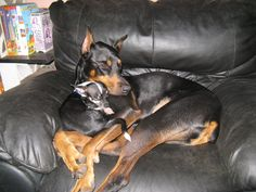 Yeah that Doberman Pinscher is a vicious dog.