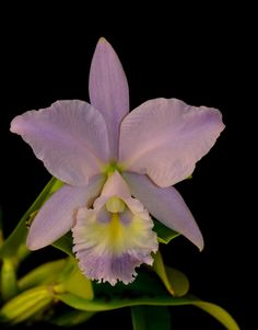 Orchid: Cattleya Sea Breeze 'Blue Ribbon' - Flickr - Photo Sharing!