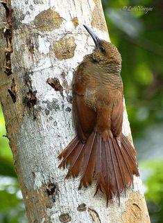 Northern Barred Woodcreeper - S. Mexico to Central America, Venezula, Equador & Columbia