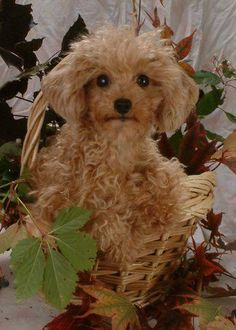 Pumpkin, My Rescued Apricot Toy Poodle, Cutest Dog In The Universe Red Poodles, Mini Poodles, French Poodles, Standard Poodles, Cute Puppies, Cute Dogs, Dogs And Puppies, Doggies, Puppies Tips