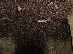 the 3rd shot with a flash, waking all of the bats up & having them all stare at the camera. National Geographic Photography Contest. Photo by Bill Thoet
