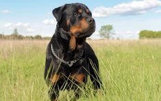 Is Your Rottweiler Driving You Crazy? Remove All The STRESS of Owning a Rottweiler: Dog Behaviour Breakthrough! Purebred Rottweiler, Rottweiler Names, German Rottweiler, Rottweiler Training, Positive Dog Training, Basic Dog Training, Training Dogs, German Dog Breeds, Large Dog Breeds