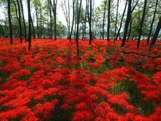 Panoramio - Photo of Kinchakuda Red Spider Lily Park 巾着田 曼珠沙華公園