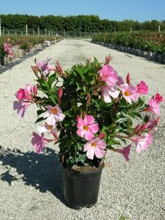 Mandevilla Vine: Tips For Proper Mandevilla Care