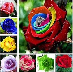 500 pcs rose flower petunia Cockscomb Hibiscus flower rosas bonsai for home garden, Eustoma flower Natural Growth easy grow. Category: Home & Garden. Product ID: Beautiful Flowers Garden, Beautiful Roses, Pretty Flowers, Top Flowers, Beautiful Gif, Purple Flowers, Rare Roses, Rare Flowers, Flower Seeds