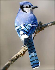 muchomurka:    nsx:    7h:    rm233:    gadabouts:    yaruo:    yuco:    kush:    ユニオンスクエアの窯 2 ☆ ニューヨークで陶芸♪ MADE IN NY: 幸せの青い鳥*ブルージェイ  青い!