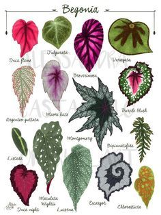 Read the full title BEGONIA leaf species varieties illustration, leaves painting art print, tropical indoor house plant, urban jungle home green decor interiors
