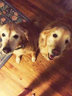 These are Daisy - 6 yrs & Gatsby - 11 yrs. They were adopted last year but have been returned due to a new job. They have always been together & need a new forever home again that will take them both. They are spayed, neutered, current on vaccinations, potty trained have good house manners & are good with dogs & kids, no cats. Adopt a Golden Atlanta, GA. http://www.adoptagoldenatlanta.com/orphans_detail1.asp?id=3009&frame=1