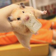Hamsters are such amazing pets Baby Animals Super Cute, Cute Little Animals, Cute Funny Animals, Hamster Life, Baby Hamster, Animal Jokes, Funny Animal Memes, Funny Hamsters, Cute Animal Pictures