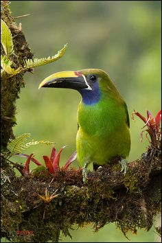 Emerald Toucanet perched on a branch Virgen del Socorro, Costa Rica ~ By Chris Jimenez