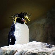 Pingwin królewski w wiedeńskim zoo. Pinguin im Schönbrunner Tiergarten.  #österreich #austria #Vienna #Wien #vieden #Dunaj #viyana #Bécs #wiedeń #igersaustria #igersvienna #igerswien #visitvienna #visitaustria #travel #travelpics