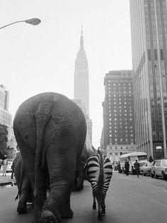 Parade of circus animals in Manhattan, 1968