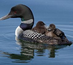 Common Loon or Great Northern Diver - Canada & the northern United States, wintering in Baja California and Texas in S. & NW Europe in the east Pretty Birds, Beautiful Birds, Animals Beautiful, Animals And Pets, Baby Animals, Cute Animals, All Birds, Love Birds, Swans