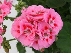 Pelargonium zonale Sunrise Graziella - Photo: Selecta