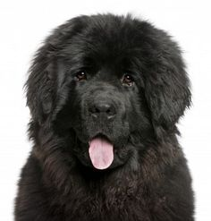 newfoundland puppy - probably our next dog :) in a few years!