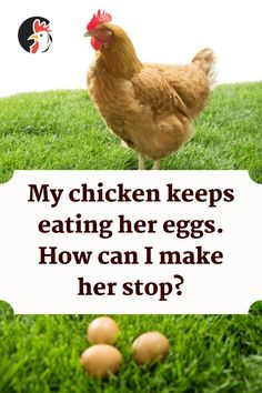 Egg eating chickens are more than common in every chicken keepers career. Out of curiosity or hunger, a hen can start eating eggs that she lays. Types Of Chickens, Keeping Chickens, Raising Chickens, Raising Ducks, Laying Hens, Eating Eggs, Small Farm, Chickens Backyard, Curiosity