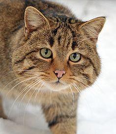 Gato-selvagem-europeu (Felis silvestris silvestris) no parque Wisentgehege Springe, em Hanôver, na Alemanha. É um felino de médio porte com cabeça grande e arredondada , olhos verdes, patas curtas e fortes .